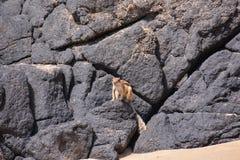 Grondeekhoorn Atlantoxerus Getulus royalty-vrije stock foto
