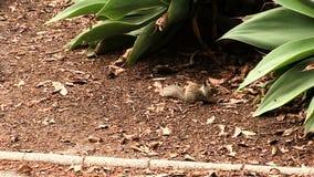 Grondeekhoorn die zich onder Installaties en Schors bij Park bewegen stock videobeelden