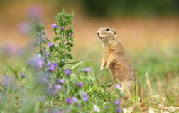 Grondeekhoorn en bloem Royalty-vrije Stock Foto's