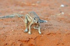 Grondeekhoorn (Xerus-inaurus) stock afbeelding