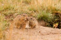 Grondeekhoorns royalty-vrije stock afbeelding