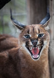 Grondement caracal Photographie stock libre de droits