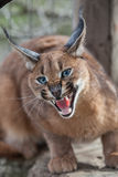 Grondement caracal Photographie stock