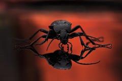 Grondkever, Carabidae Stock Foto's