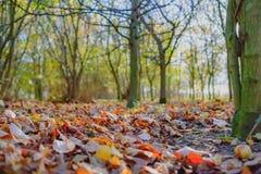 Grondniveaukijk op een jong die bos, tijdens de herfst, met een tapijt van bladeren wordt gehad stock fotografie
