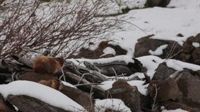 Grondvarkens in sneeuw en wind
