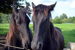 Groninger konie Zdjęcia Royalty Free