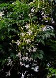 Grono Biali kwiaty Korkowy drzewo Fotografia Stock