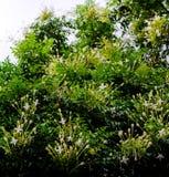 Grono Biali kwiaty Korkowy drzewo, Fotografia Stock
