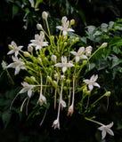 Grono Biali kwiaty Korkowy drzewo Obrazy Stock