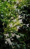 Grono Biali kwiaty Korkowy Treem Obraz Stock