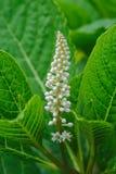 Grono biali kwiaty Phytolac lub Ameryka?ski gronowy Phytolacca zdjęcia stock