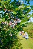 Grono czarne jagody na Michigan gospodarstwie rolnym obraz royalty free
