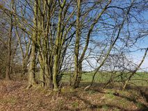 Grono drzewa na żywopłot ścianie w Północnym Niemcy w wiośnie obrazy stock