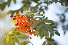 Grono jaskrawe pomarańczowoczerwone rowan jagody obrazy royalty free