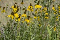 Grono kolor żółty Kwitnie w Krajobrazowym łóżku Obrazy Stock