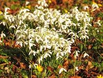 Grono las śnieżyczki Zdjęcie Royalty Free