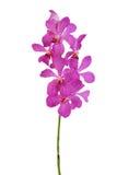 grono orchidea Fotografia Stock
