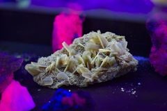 Grono ostrze, bladed selenitów kryształy także znać jako gipsowy kwiat lub pustynia, wzrastał Fluorescencyjna kopalina pod ULTRAF obraz royalty free