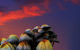 Grono pieczarka muchomor zdjęcie royalty free