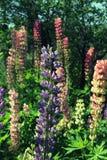 Grono stubarwny lupine w ogródzie Zdjęcia Stock