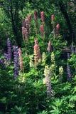 Grono stubarwny lupine w ogródzie Obraz Stock
