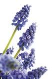 Gronowego hiacyntu kwiat, zakończenie (Muscari) Obraz Royalty Free
