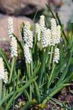 Gronowego hiacyntu kwiaty (Muscari) Zdjęcia Stock