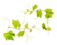 Gronowego winogradu liście odizolowywający na białym tle Obrazy Royalty Free