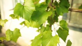 Gronowego winogradu liście w miękkim wieczór świetle słonecznym Zbliżenie strzał zbiory wideo