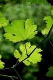gronowi liście Zdjęcie Stock