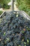 Gronowi żniwa gospodarstwa rolnego fury whit winogrona dla wino produkci winogron dla (Barbera) Zdjęcia Stock