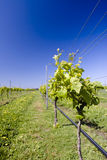gronowi winogrady fotografia royalty free