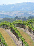 gronowi winogrady Obraz Royalty Free