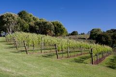 Gronowi winogrady obrazy stock
