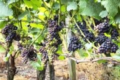 Gronowi winogrady Zdjęcie Stock