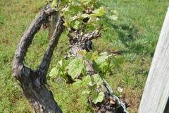Gronowi winogrady zdjęcie royalty free