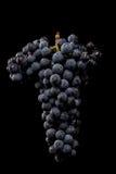 Gronowi winogrady odizolowywający, wodne krople, makro- strzał, czarny backgroun zdjęcia royalty free