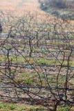 Gronowi winogrady pilotowa góra Obraz Royalty Free