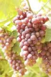 Gronowi winogrady w winnicy Fotografia Royalty Free
