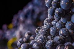 Gronowi winogrady, wodne krople, makro- strzał, czarny backgroun zdjęcia royalty free