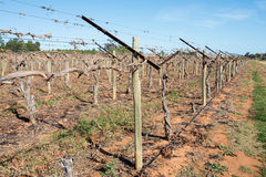 Gronowi winogrady z Shaw huśtawki ręki Trellis zdjęcia royalty free