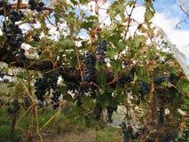 Gronowi winogrady Zakrywający z Ptasim siatkarstwem Obraz Stock