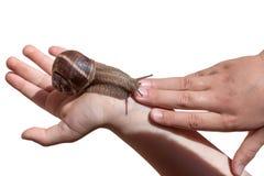 Gronowy ślimaczek na istot ludzkich rękach odizolowywać na białym tle Obrazy Royalty Free