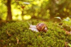 Gronowy ślimaczek w mech w lasowej haliźnie Zdjęcie Royalty Free