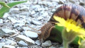 Gronowy ślimaczek z skorupą zbiory wideo