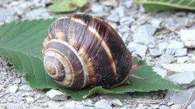 Gronowy ślimaczek z skorupą zdjęcie wideo