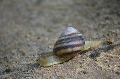 Gronowy ślimaczka czołganie na piasku Makro- zdjęcie royalty free