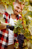 Gronowy żniwo w jesieni przy winnicą Obraz Royalty Free