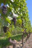 gronowy czerwone wino Zdjęcie Royalty Free